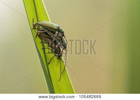 Long-horned Leaf Beetle