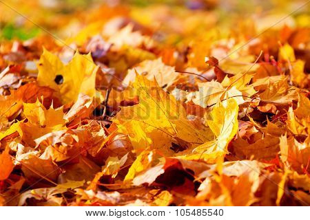 Dry Brown And Yellow Maple Leaves
