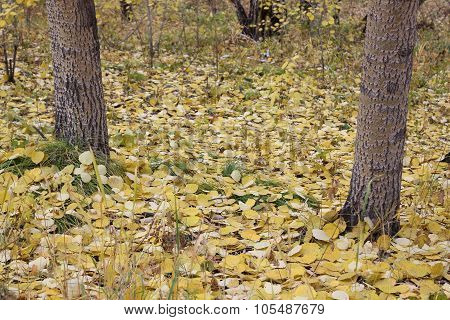The Fallen-down Yellow Poplar Leaves In The Wood.