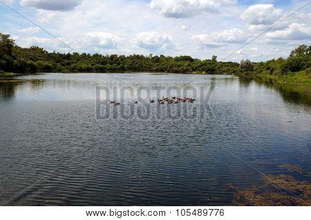Geese in Budde Lake