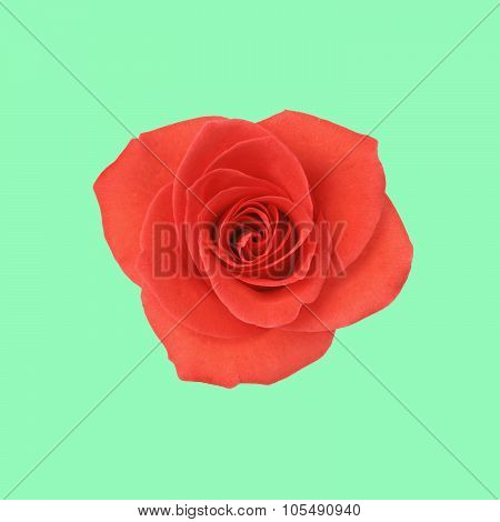 Single red rose on green background