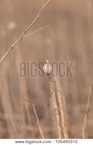 Snail perches high on a dry reed