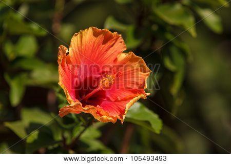 Tie dye Hibiscus flower