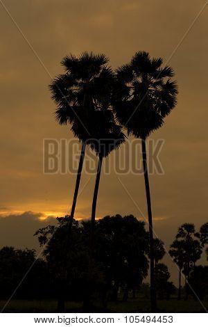 Heart-shaped Sugar Palm