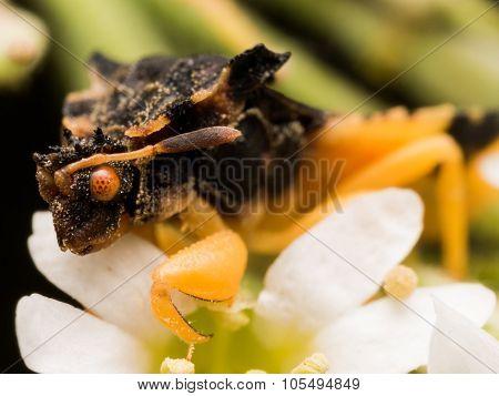 Black Ambush Bug With Orange Eye On White Aster