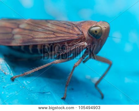 Brown Leaf Hopper With Green Spotted Eyes