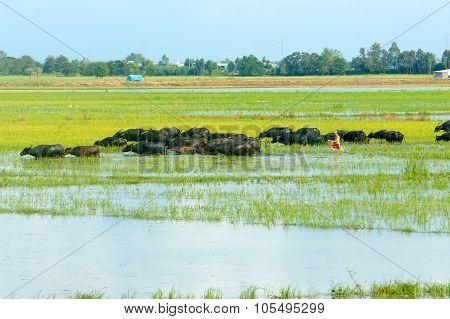Landscape, Mekong Delta, Buffalo, Flooded Rice Field
