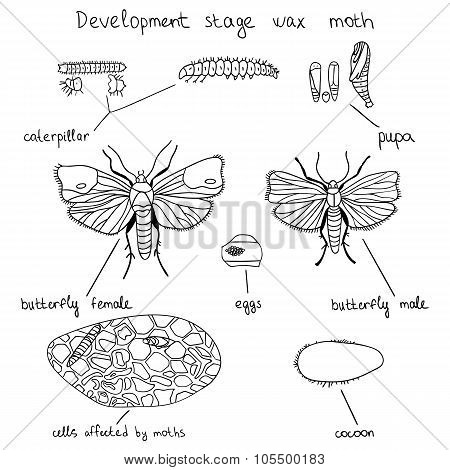 Development Stage Wax Moth