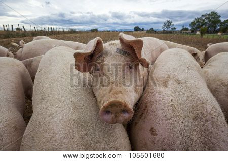 View Of Pigs Outdoors