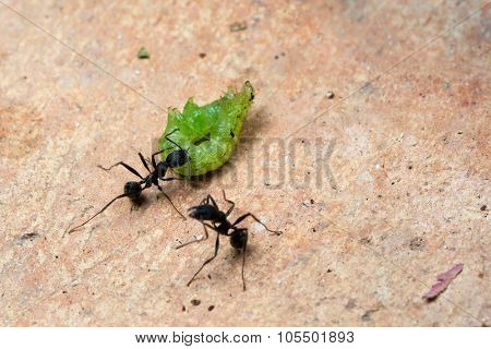 Ants killing a caterpillar and carrying it to the colony