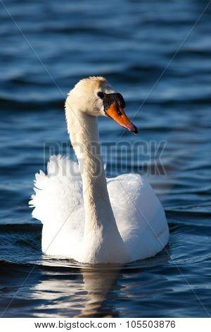 Beautiful swan swimming in Ontario lake