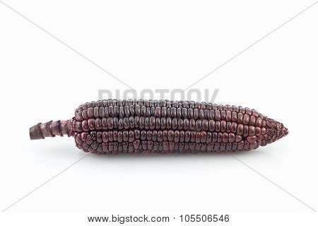 Fresh Purple Organic Corn, Maize.
