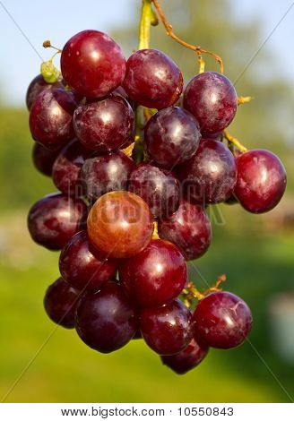 Branch Of Red Ripe Grapes