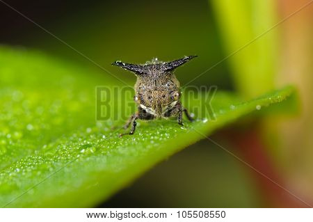Treehopper Face to Face.