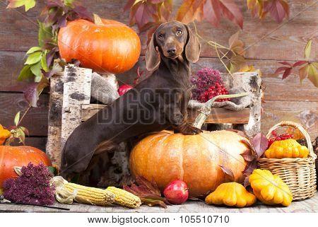 dachshund rabbit and pumpkin