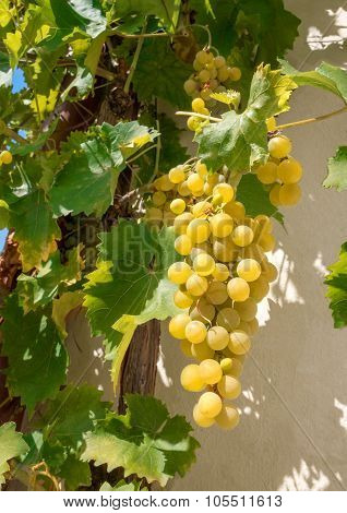Bright grapes on a house wall