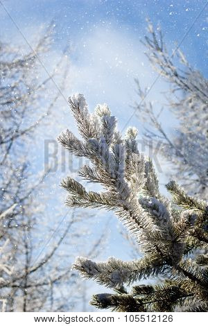 Coniferous Tree Branch Covered With Hoarfrost