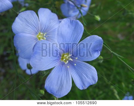 Blue flax flower in spring. Close up.