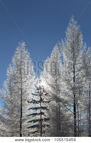 Three Trees  Covered With Hoarfrost