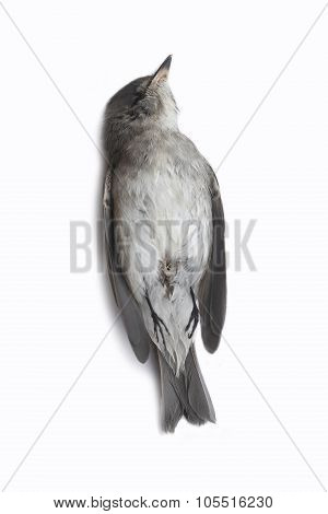 dead bird background in nature, isolated dead bird on white.