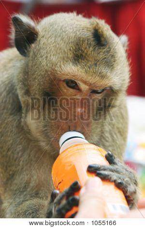 A Monkey Enjoys A Treat At The Annual Monkey Buffet Festival At