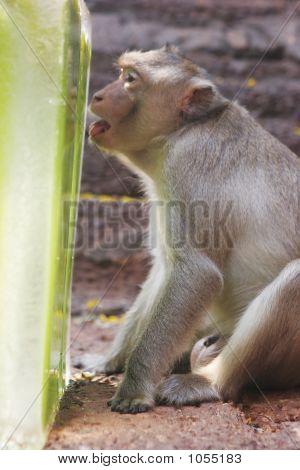 A Monkey Enjoys An Ice Treat At The Annual Monkey Buffet Festiva
