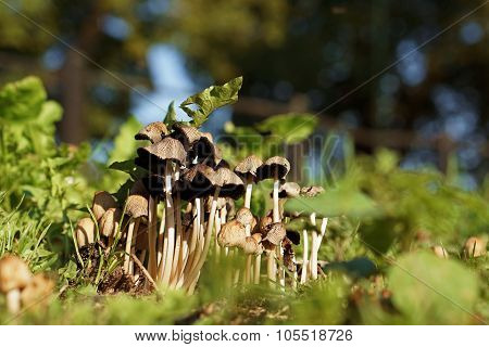 Cluster Of Small Thin-Stalked Mushrooms