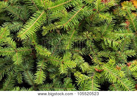 Texture of conifers