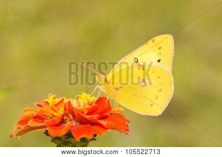 Beautiful Orange Sulphur butterfly on a deep orange Zinnia flower against green background