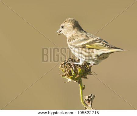 Pine Siskin eating seeds on a dry wild sunflower