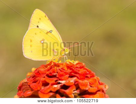 Bright yellow Orange Sulphur butterfly feeding on a dark orange Zinnia flower in fall garden