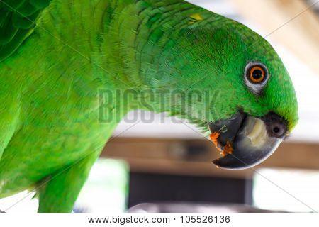 Green Parrot Eating Fruits, Closeup Photography