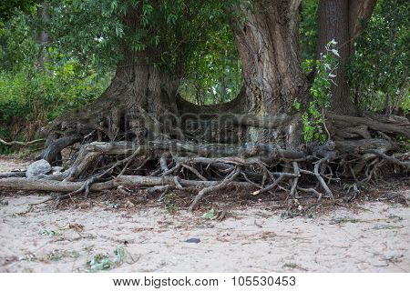 Roots of trees