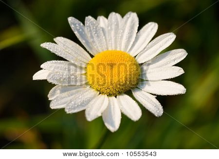 Camomile In Early Dew, Selected Focus