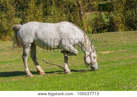 white horse grazing on a fall pasture