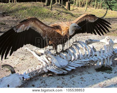 griffon vulture on the skeleton