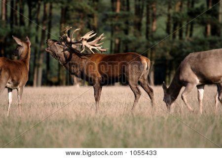 Rutting Deer