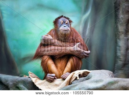 Female Orangutan Portrait