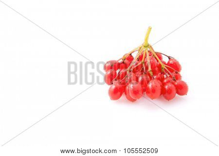 Berries of red viburnum isolated on white background. close-up