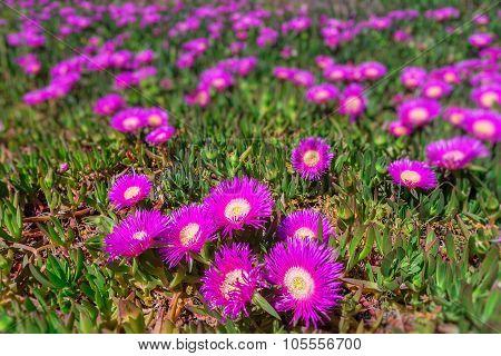 Marine Flowers Coast Of Portugal. Spring In The Algarve.