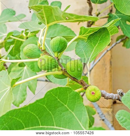 Green Raw Figs On Fig Tree
