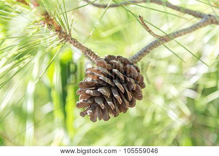 Bump On A Pine Branch