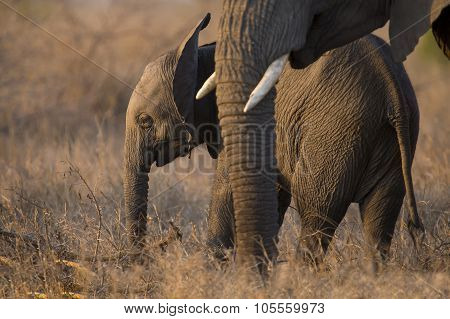 Breeding Herd Of Elephant Walking Eating In Long Brown Grass