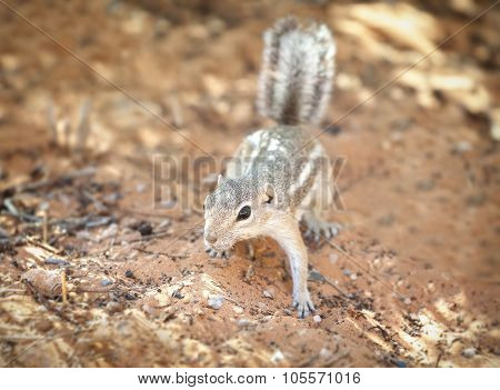 Squirrel In A Natural Habitat, Valley Of Fire State Park, Usa.