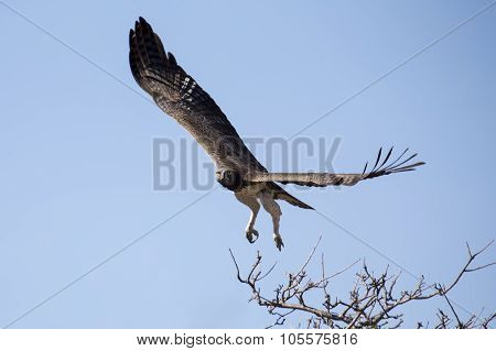 Martial Eagle With Large Wings Take Off From Tree Against Blue Sky