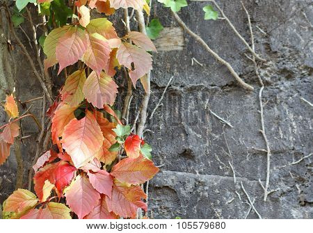 The Liana With Colorful Leaves Climbing At The Wall