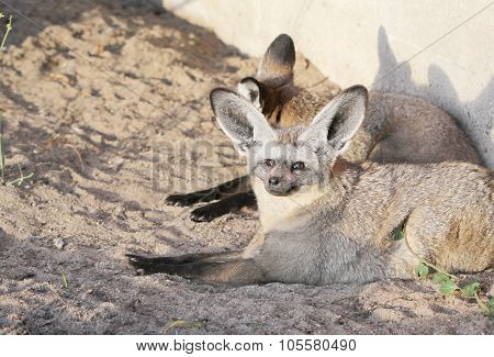 The Pir Of Big-eared Foxes Sitting In The Sunset Light
