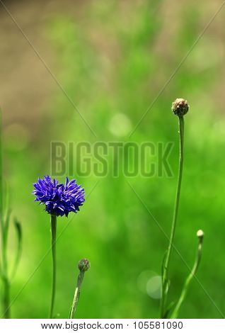 The Blue Cornflower Growing In The Green Grass