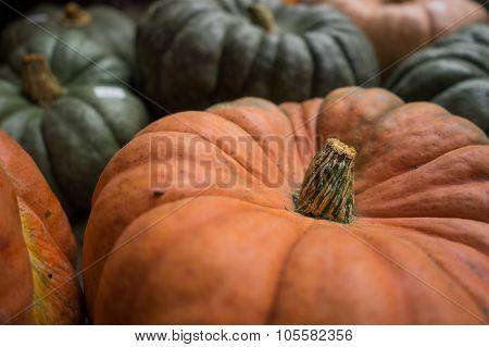 Cinderella Pumpkin Stem