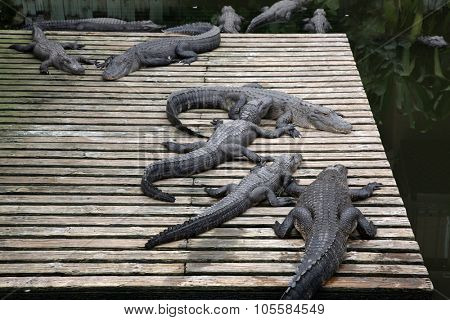 Florida Alligators enjoy life at an Alligator Farm. Alligators are an important part of the animal kingdom.